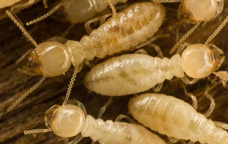 eastern subterranean termites inside of a home in edwardsville kansas