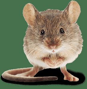 mouse in olate ks
