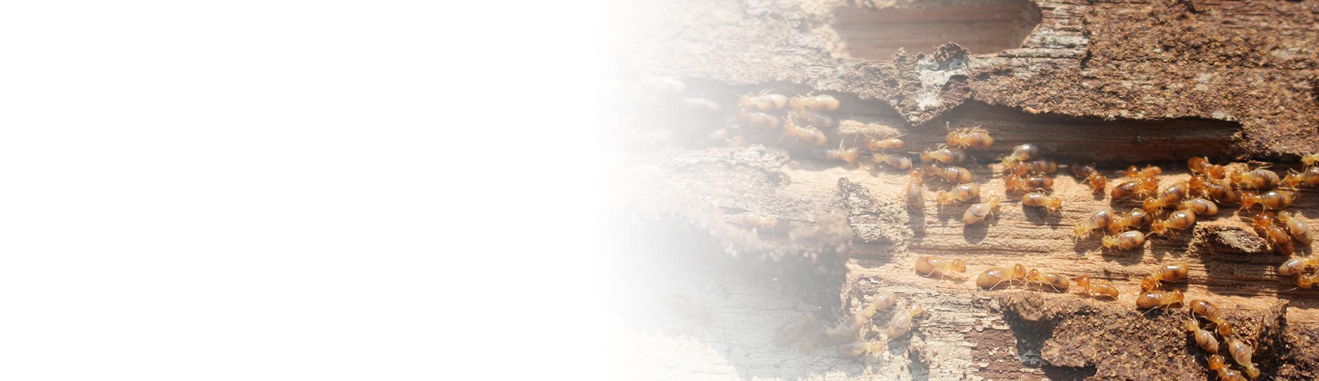 termite damage in kansas city