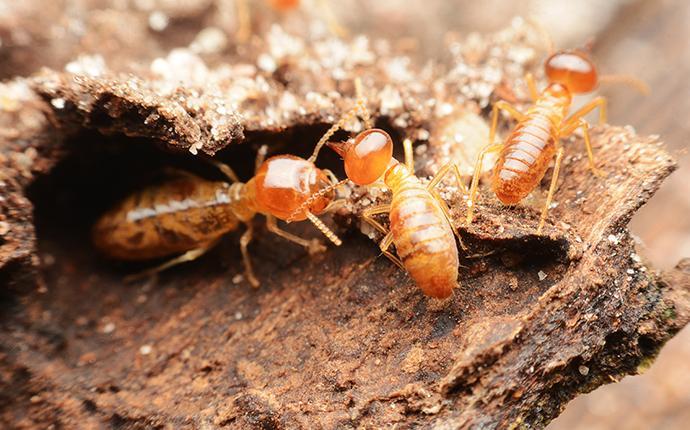 foraging termites in kansas city