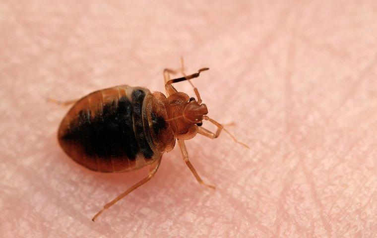 a bed bug crawling on a persons arm in fairfield connecticut