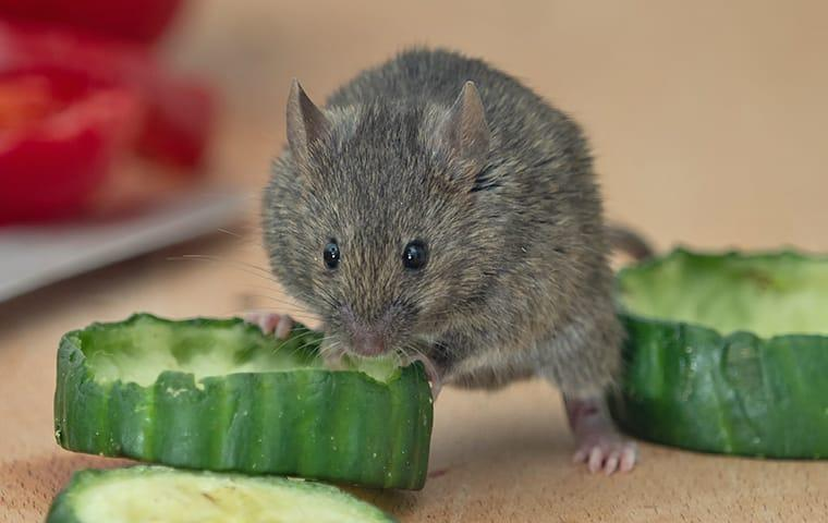 a mouse on a kitchen countertop eating a cucumber at a home in fairfield connecticut
