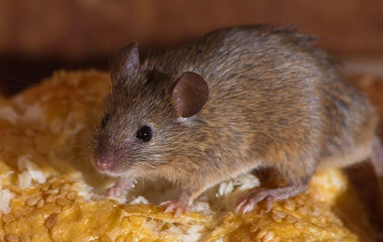 a house mouse crawling on fresh bread in a stamford connecticut home during thanksgiving