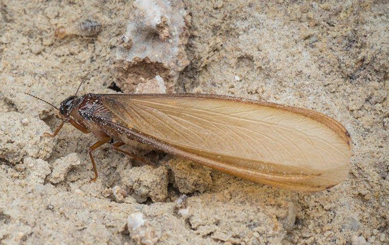 termite swarmer in sand