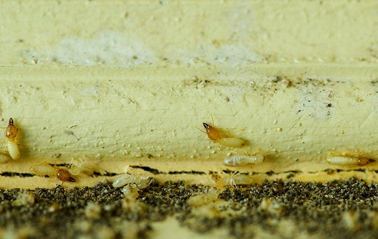 a cluster of termite workers and soldiers chewing through wood