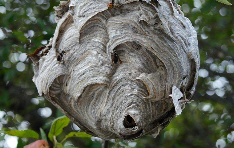 a wasp nest hanging on a tree with a wasp on the nest