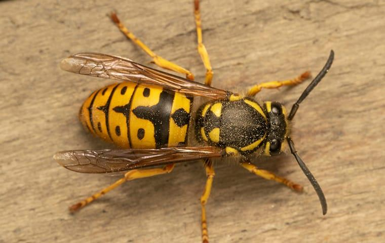 a yellow jacket on a picnic table outside of a home in new haven connecticut
