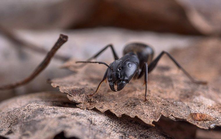 a carpenter ant crawling on a leaf outside of a home in new haven connecticut