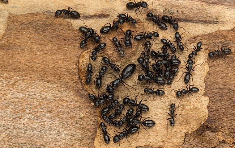 many carpenter ants crawling inside of a home in danbury connecticut