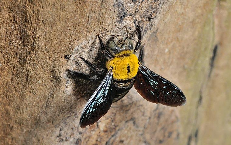 a carpenter bee crawling on a tree outside of a home in east haven connecticut