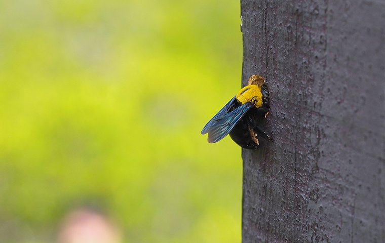 a carpenter bee in a wooden post outside of a home in fairfield connecticut