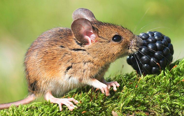 field mice eating berries