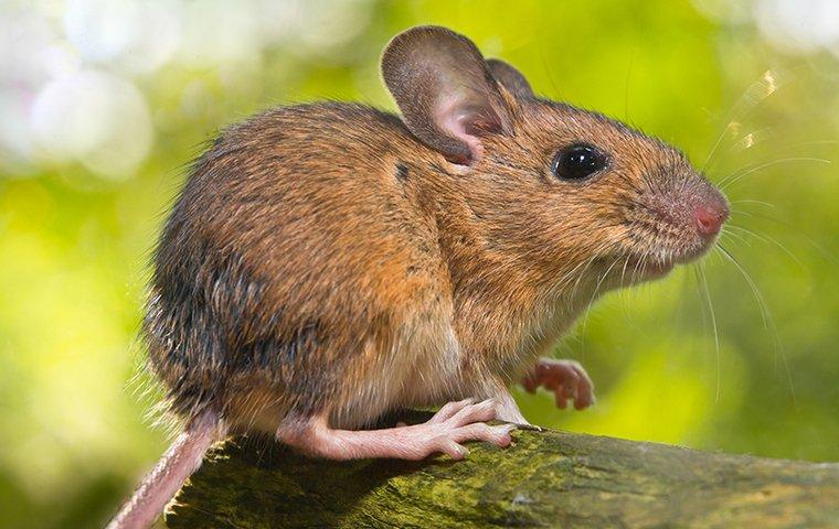 field mouse up close