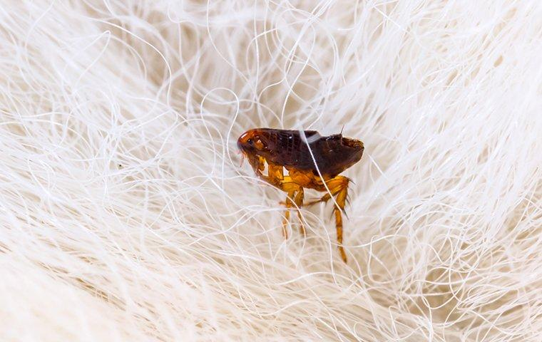 a flea crawling on a dog in a home in danbury connecticut