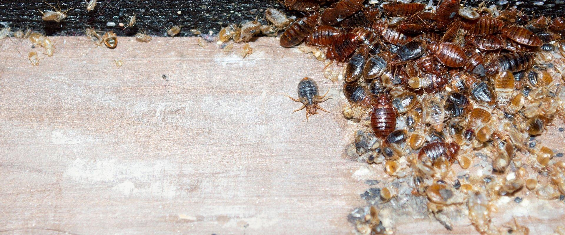 many bed bugs on a box spring in a home in wallingford connecticut