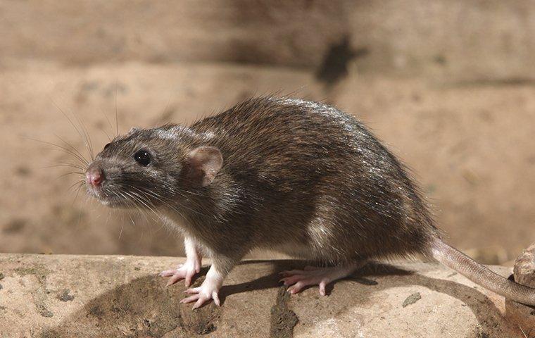 norway rat on a rock