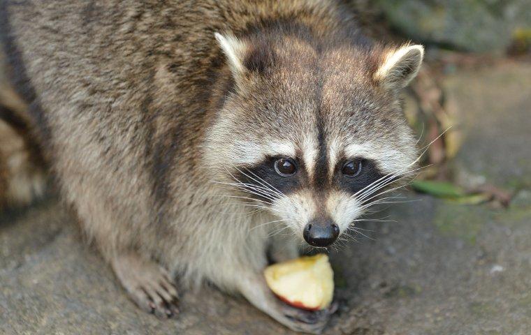 raccoon eating an apple