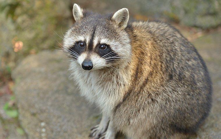 raccoon up close