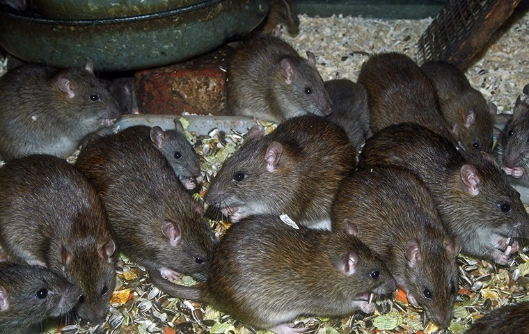 many rats eating seeds from a bird feeder outside of a home in stamford connecticut