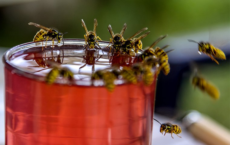 many wasps drinking juice from a glass left outside of a home in west haven connecticut