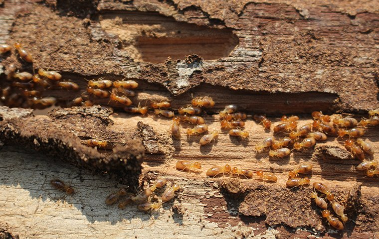 many termites crawling on damaged wood at a home in new haven connecticut