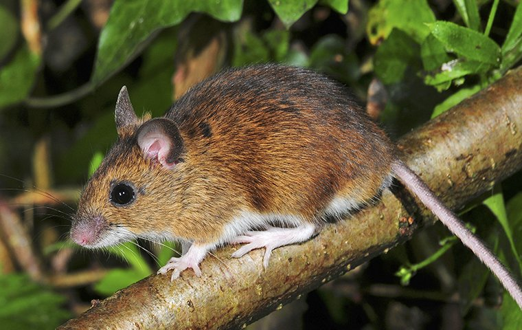 white-footed mouse up close