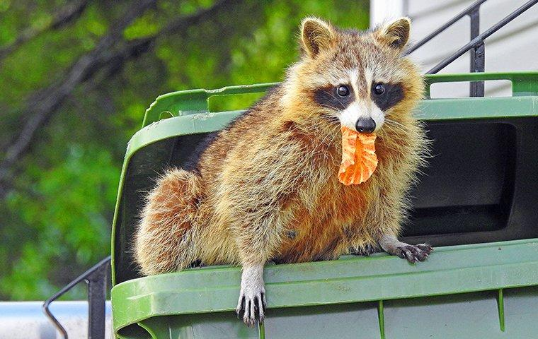 a raccoon getting food out of a trash can outside of a home in danbury connecticut