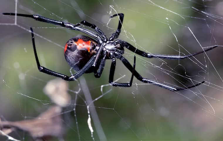 a black widow spider hanging on a web outside of a home in denver colorado