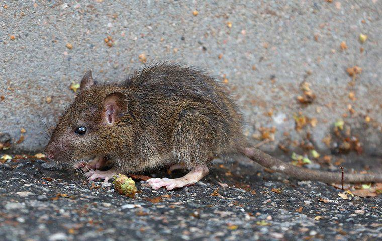 a baby rat walking along a building outside