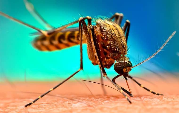 a mosquito biting the skin of a denver colorado resident