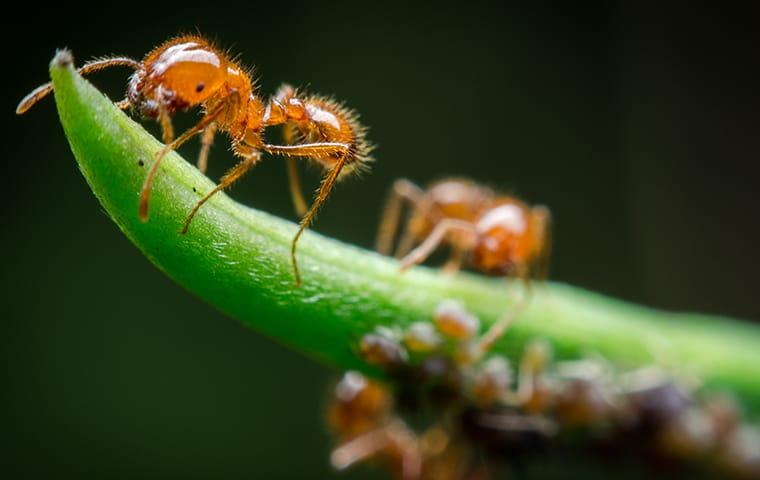 several fire ants crawling on a plant in denver colorado