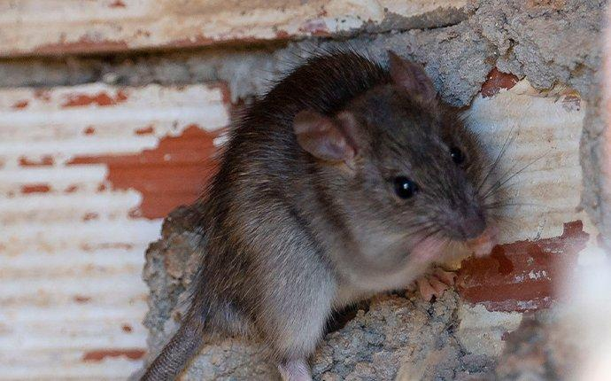 a roof rat in the foundation of a home