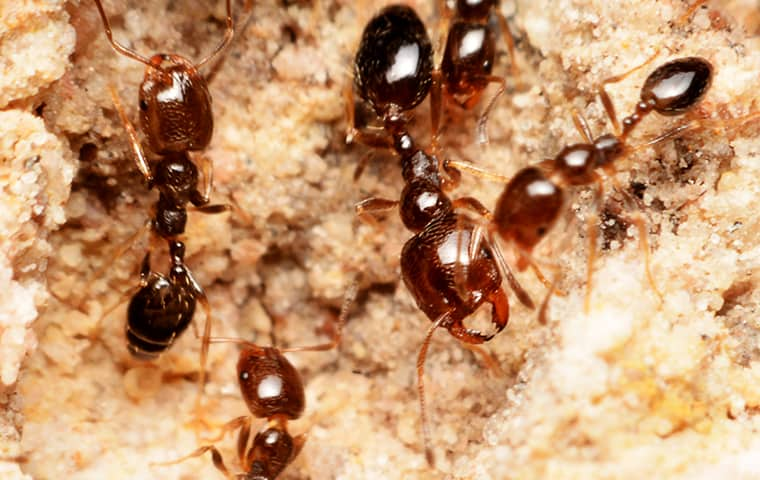 fire ants outside of a home in denver colorado