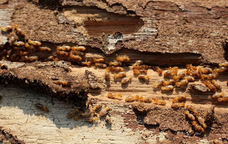 a termite infestation inside of a home in denver colorado