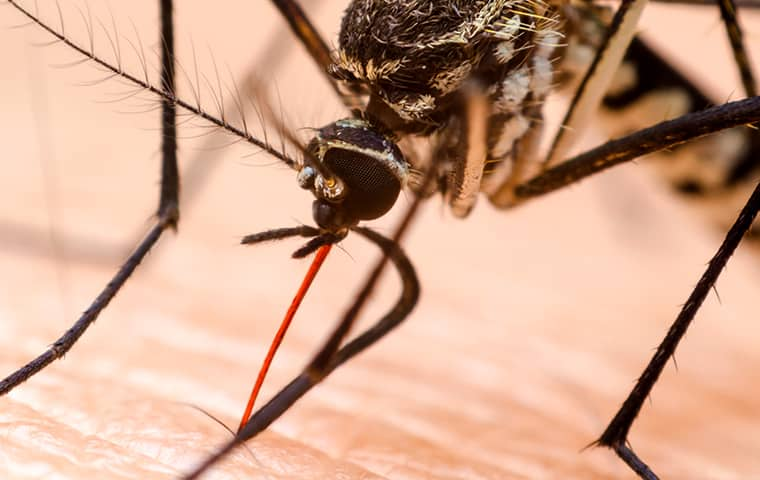 a mosquito biting the neck of a homeowner in denver colorado