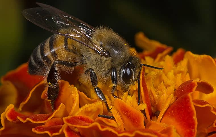 an africanized honey bee on a flower in mesa arizona