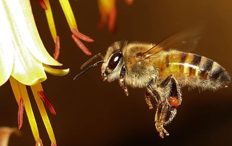 an africanized honey bee flying near a flower in mesa arizona