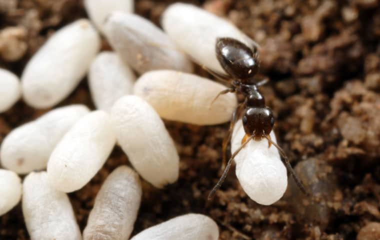 a rover ant crawling outside in chandler arizona