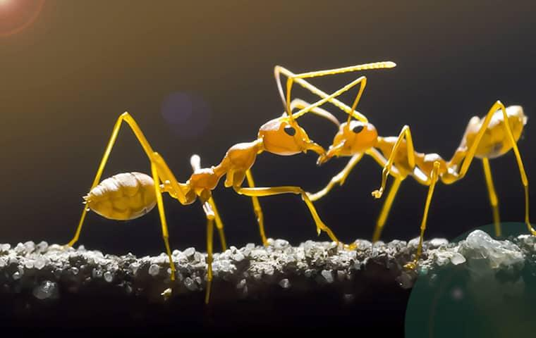 two wild yeow colored ants fighting on a branch in a gilbert arazona yard