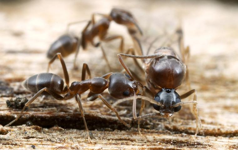 up close image of argentine ants crawling on pieces of wood