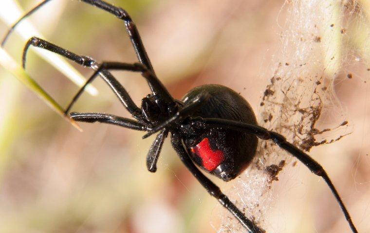 black widow spider spinning web