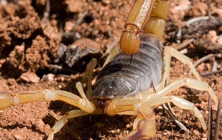 a scorpion crawling on the ground outside a queen creek arizona home