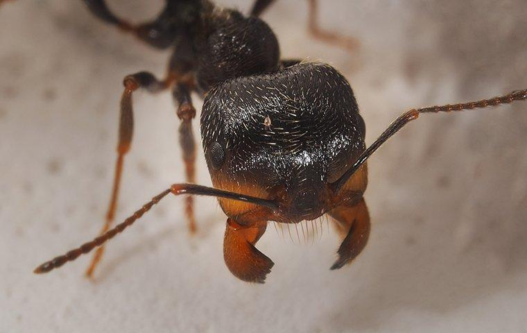 a close up of a harvest ant