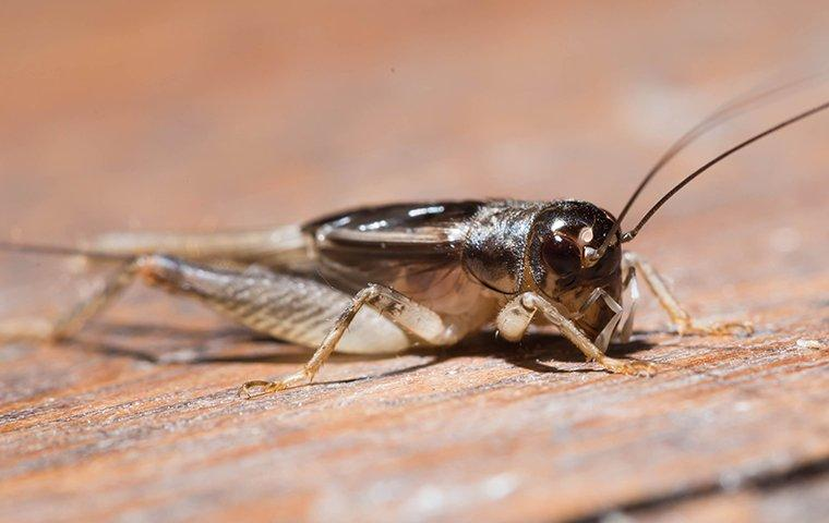 a house cricket crawling on a porch