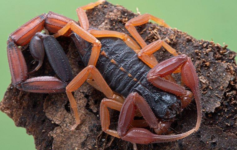 a lightbox scorpion curled up on a tree