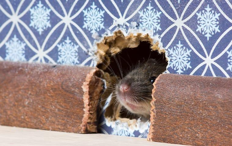 a mouse chewing through the walls inside of a queen creek arizone home