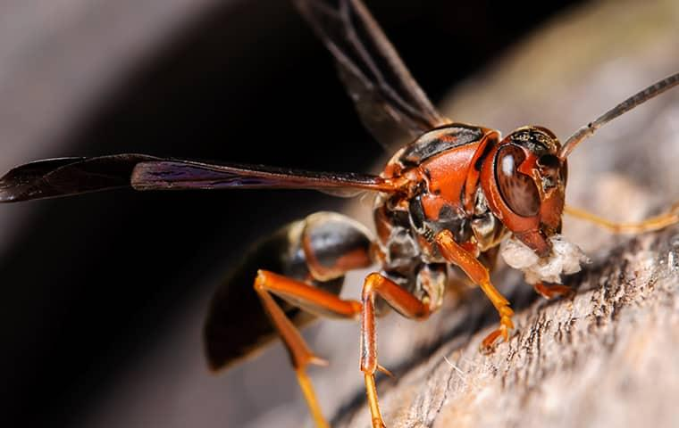 a firey red paper wasp perching in attack positioned on a stone wall on san tan valley property in arizona