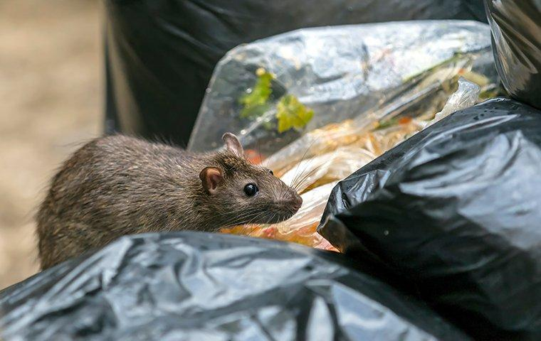 rodent digging in trash