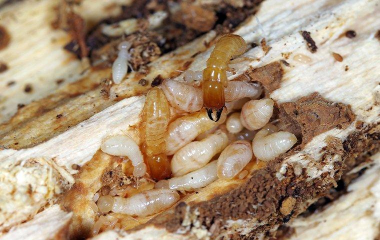 termites creating tunnels in a wooden structure