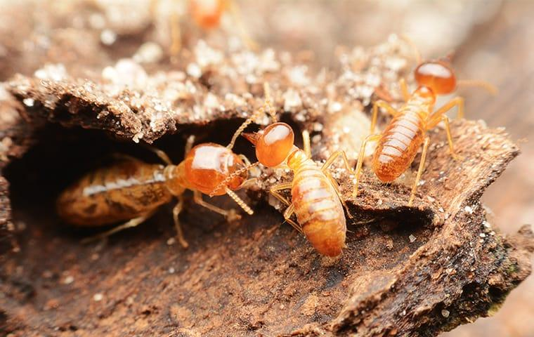 termites eating wood at a home in san tan valley arizona